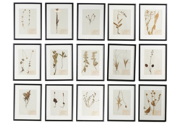 French Seagrass Botanical Boards Dated 1885, with Black Frames and Glass